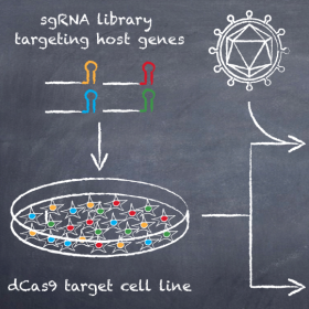 CRISPR-based screens for the identification of host targets critical for viral infection