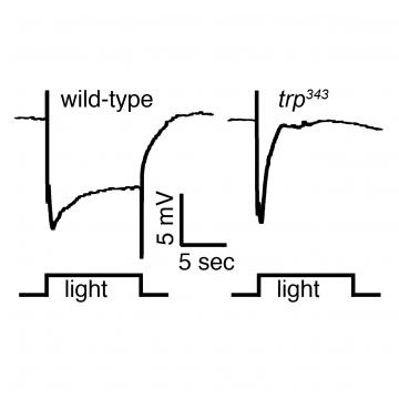Visual Transduction Rhodopsins Trp Channels