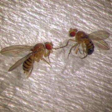 Flys in love